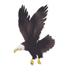 Bald eagle isolated on white background vector image vector image