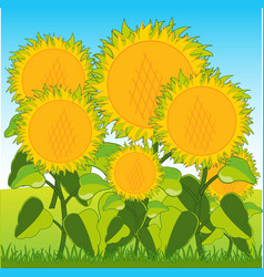 Field with sunflower vector