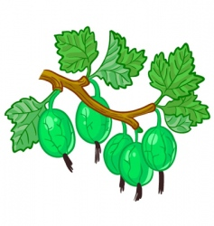 gooseberry branch vector image