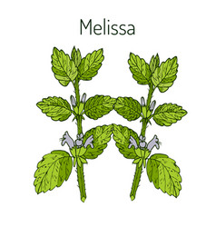Melissa hand drawn vector