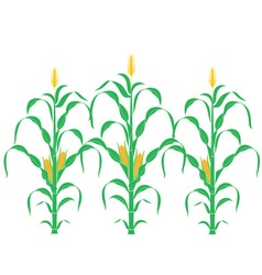 Corn corn stalk vector