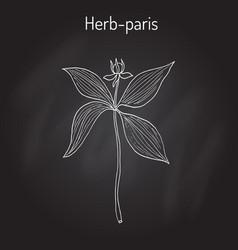 herb-paris or true lover s knot paris quadrifolia vector image