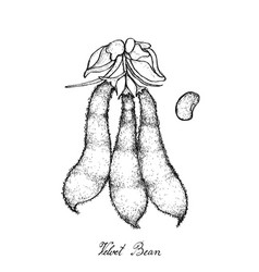 Velvet bean pods on white background vector
