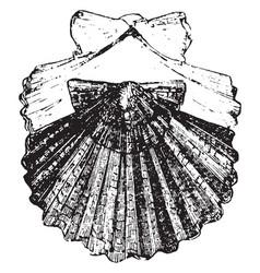 Scallop vintage vector