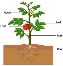 Showing the parts of a tomato plant vector