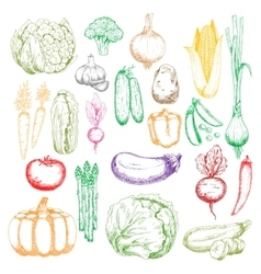 Healthy organic farm vegetables sketch symbols vector