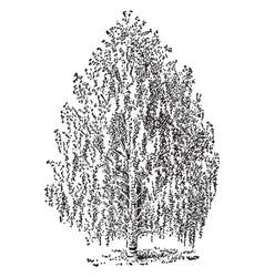 Betula pendula vintage vector