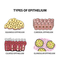 Types of epithelium squamous cubic ciliated vector