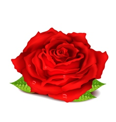 Realistic Rose vector image vector image