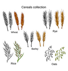 Set of cereals barley rye oats rice and wheat vector
