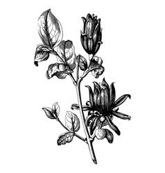 Magnolia blossoms vector image