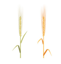 rye ripe and immature set - vector image