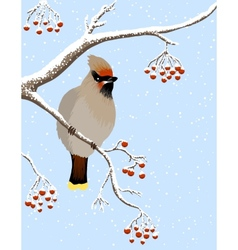 waxwing and rowanberries vector image vector image