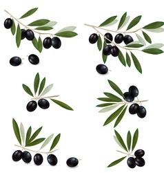 black olive vector image