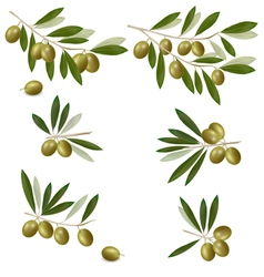green olive vector image vector image
