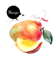 Hand drawn watercolor painting mango on white vector
