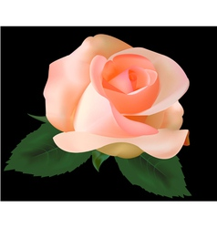 beautiful tea rose vector image
