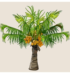 cartoon small palm tree with coconuts vector image vector image