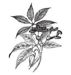 bombax malabaricum vintage vector image
