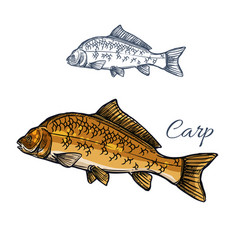 Carp fish isolated sketch for food themes design vector