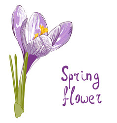 flower of saffron vector image