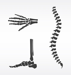 Parts of human skeleton vector image vector image