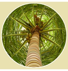 Palm tree with coconuts bottom view vector