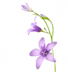 Purple bluebell vector