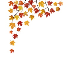 branches of a maple on white vector image