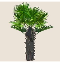 Palm with spreading leaves on a thick trunk vector