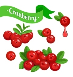 Colorful branch of cranberry vector
