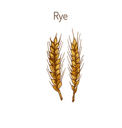 Hand draw rye ears sketch vector