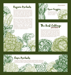 Cabbages vegetables templates set vector