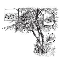 Calabash tree vintage vector