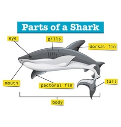Diagram showing parts of shark vector