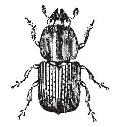 European elm bark beetle vintage vector