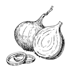 Onion hand drawn  isolated vector
