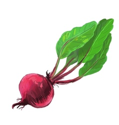 picture of red beet vector image