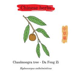Medicinal herbs of china chaulmoogra tree vector
