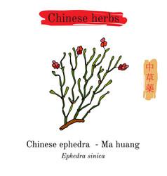 medicinal herbs of china ephedra sinica vector image