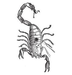 Scorpion vintage vector