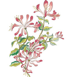 Honeysuckle vector