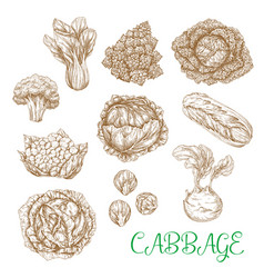 Sketch icons of cabbage vegetables vector