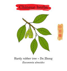 Medicinal herbs of china hardy rubber tree vector