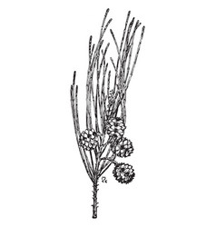 Casuarina equisetifolia vintage vector
