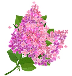 Lilac flower isolated vector image vector image