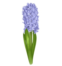 Purple hyacinth isolated on white background vector
