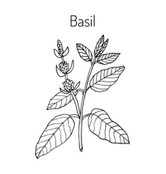 basil culinary and aromatic herb vector image