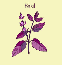 Basil culinary and aromatic herb vector