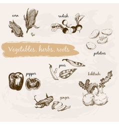 Vegetables herb and roots vector image vector image